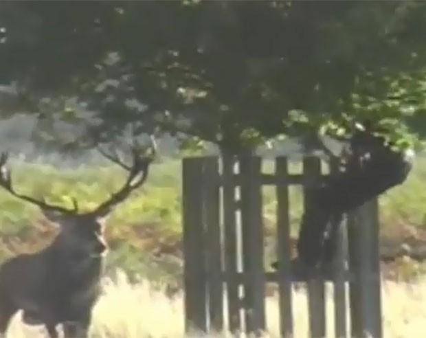 Homem subiu em árvore para escapar de veado furioso. (Foto: Reprodução)