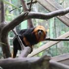 Zoo preserva Mico-leão-de-cara-dourada (Rafael Pagani/Zoo Pomerode)