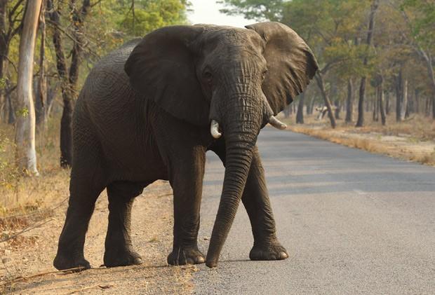 Elefante atravessa estrada no Parque Nacional Hwange, no Zimbábue, em 1º de outubro: pesquisadores descobriram por que os elefantes raramente têm câncer  (Foto: AP Photo/Tsvangirayi Mukwazhi)