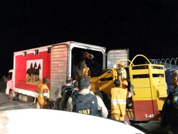 Cavalos foram deixados aos cuidados da administração da rodovia (Foto: Divulgação/ Polícia Rodoviária Federal)