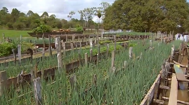 Para cuidar das plantações suspensas é necessário se equilibrar nas passagens feitas de madeiras (Foto: Bom dia Amazônia)