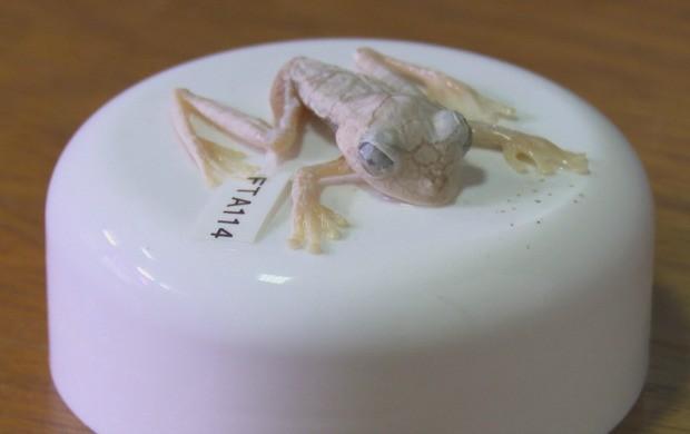 Nova espécie é encontrada em Laranjal do Jari, Mazagão e Oiapoque, no AP (Foto: Amapá TV)