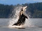 Lista traz orca abocanhando toninha e mais flagras de ataques incríveis