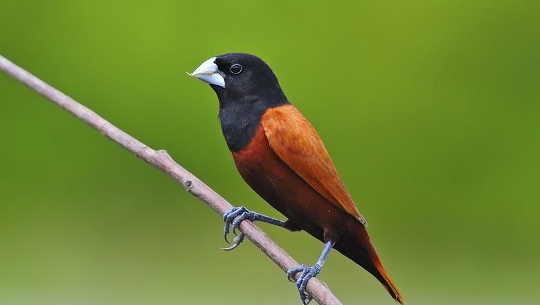 lonchura-atricapilla-passaro-ave (Foto: Thinkstock)