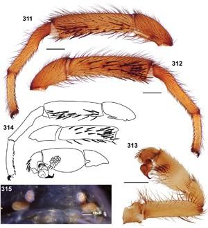 """Estruturas da espécie de aranha 'Aptostichus bonoi' (Foto: Divulgação/""""ZooKeys"""")"""