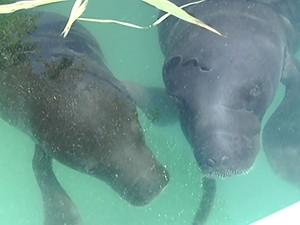 Atualmente, 12 filhotes são tratados no zoológico de Santarém (Foto: Reprodução/TV Tapajós)