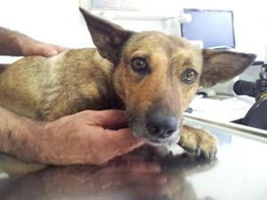 Cadela ferida por bomba caseira em Campinas (Foto: Fernando Pacífico / G1)