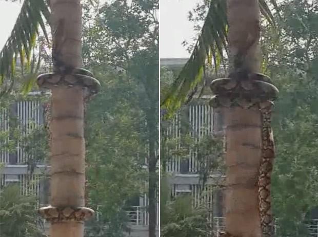 Píton usa técnica incrível para subir em árvore (Foto: Reprodução/Facebook/Khonkaen)