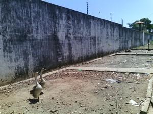 Gansos são utilizados na Penitenciária Regional Luiz Gonzaga Rebelo, em Esperantina (Foto: Divulgação/ Sinpoljuspi)