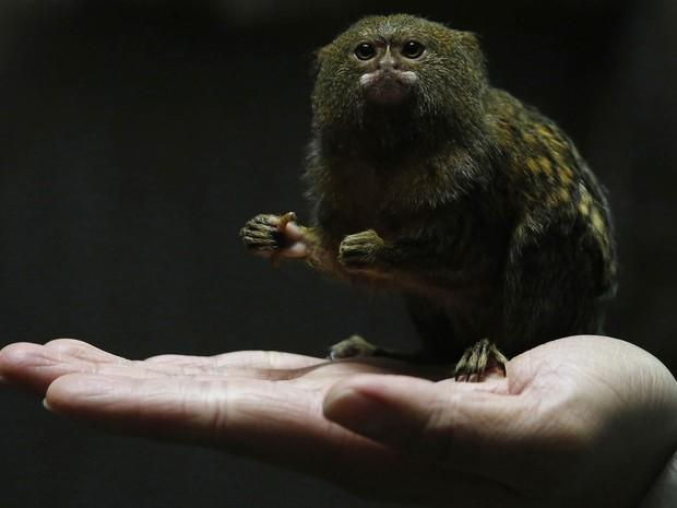 Funcionário do Parque Oceânico de Hong Kong mostra na palma da mão um sagui-leãozinho, a menor espécie de macaco do mundo, na China. Os chineses celebram a chegada do Ano do Macaco (Foto: Bobby Yip/Reuters)