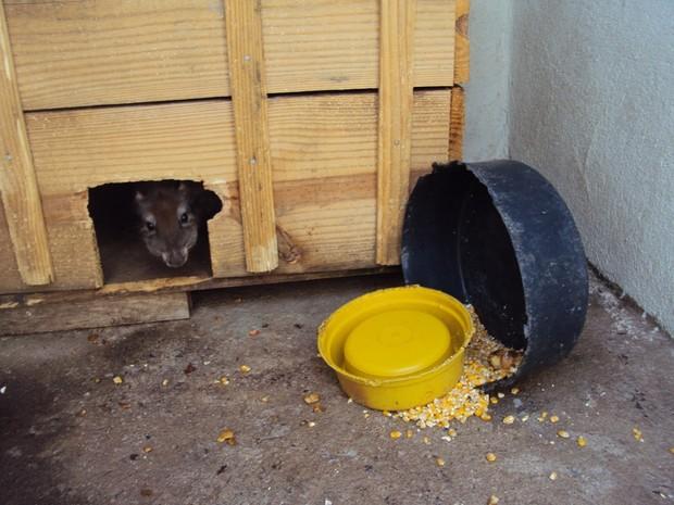 Paca estava escondida em caixa de madeira (Foto: PM/Divulgação)