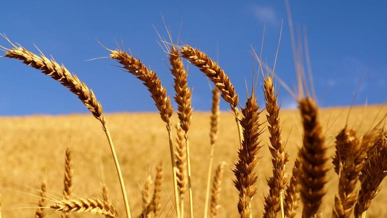 Resultado de imagem para lavoura de trigo rio grande do sul