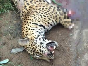 Onça pintada foi encontrada com as patas cortadas (Foto: Polícia Rodoviária Federal/Divulgação)
