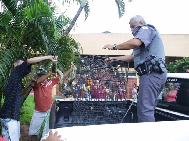 Sucuri chamou atenção de curiosos (Foto: Divulgação / Polícia Ambiental)