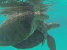 Projeto pioneiro implanta microchips em tartarugas no Atol das Rocas