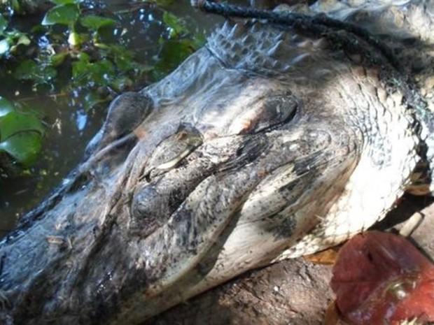 Pesca da piracatinga causa matança de dezenas de botos e jacarés (Foto: Divulgação)