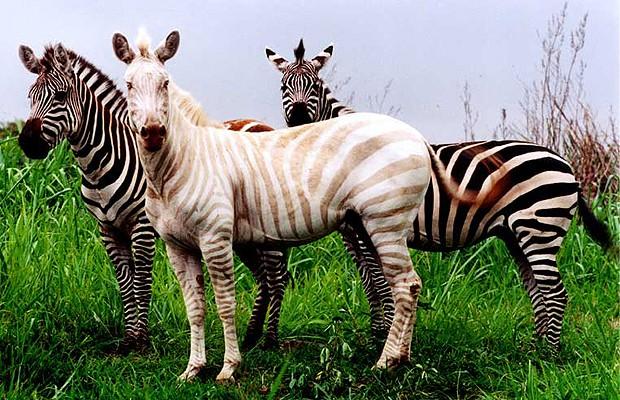 Zebra: apesar de ser toda branca, a zebra Zoe não é albina. Ela sofre da doença amelanose, também chamada de vitiligo, e é a única conhecida no mundo. Ela vive no santuário de animais Three Ring Ranch, no Havaí, nos Estados Unidos (Foto: Three Ring Ranch)