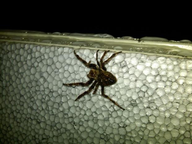 Uma das milhares de aranhas que estavam no navio que descarregava em Gam (Foto: AP)