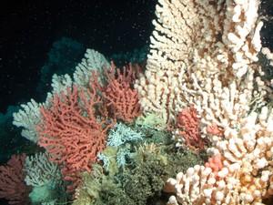 Recife de coral noruegu�s: corais est�o entre as esp�cies mais vulner�veis � acidifica��o do oceano.  (Foto: AP Photo/Geomar, Karen Hissmann)