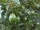 Onda de furtos de abacates preocupa os produtores rurais de Aguaí, SP