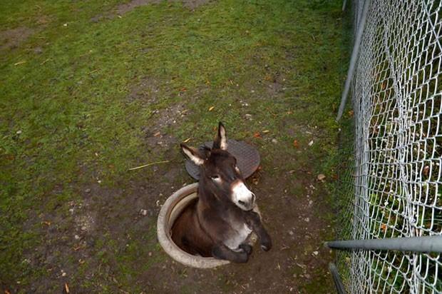 Burro foi resgatado após cair em um bueiro na cidade de Pratteln (Foto: AFP)