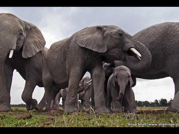 Maravilhas da Natureza: A Inteligência da Criação fica na galeria Oberhausen Gasometer até o dia 11 de dezembro. Na imagem acima, uma manada de elefantes mata a sede na Reserva Nacional Maasai Mara, no Quênia, em uma foto feita por Anup Shah em julho de 2 (Foto: Anup Shah )