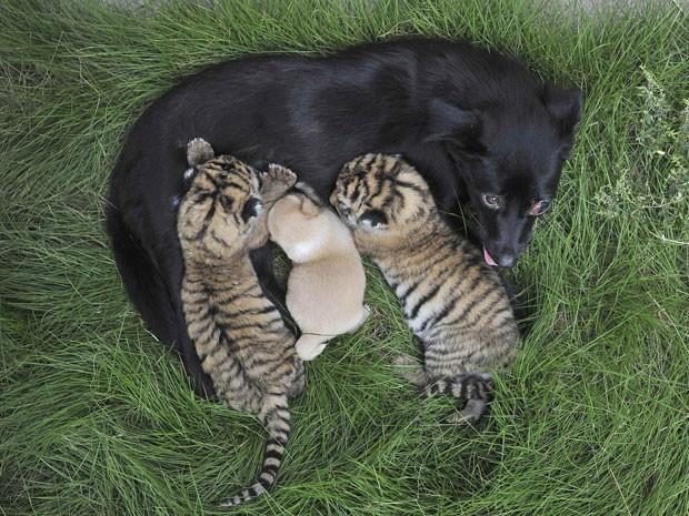 Cadela amamenta, além do seu filhote, mais dois tigres recém-nascidos (Foto: Stringer/Reuters)