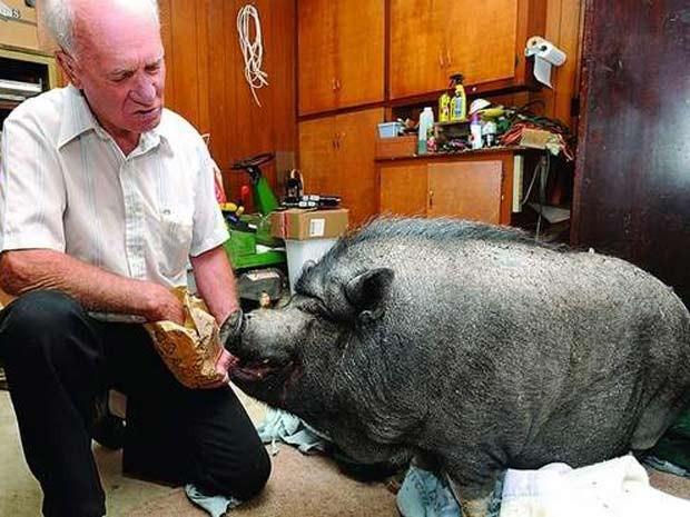 Em 2010, o norte-americano Wilferd Kallhoff foi multado em Mountain Home, no estado do Arkansas (EUA), por manter um porco como animal de estimação dentro dos limites da cidade. O suíno chamado 'Joker' vivia com Kallhoff havia 18 anos (Foto: Kevin Pieper/Baxter Bulletin/AP)