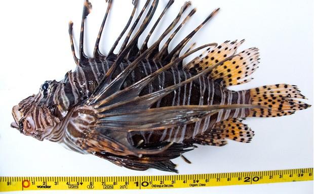 Análise genética de peixe-leão encontrado no Brasil revelou semelhanças com peixes que invadiram o caribe  (Foto: California Academy of Sciences/Divulgação)