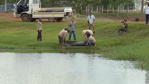 Peixes-boi que viviam em tanques são soltos em semicativeiro no AM (Foto: Bom Dia Amazônia)