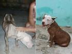 Pitbull resgatada com 15 kg após 50 dias sem comida se recupera em MT