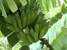 Seca complica produção de banana do sertão de Pernambuco