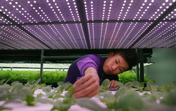 Fazendeiro high-tech Chang Chen-kai cuida dos pés de alface, sob as luzes de LED  (Foto: AP Photo/Wally Santana)