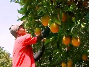 Colheita de laranja em Matão (Foto: Reprodução/ TV Globo)
