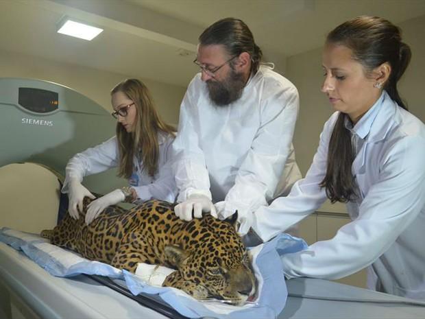 Animal passou por exames de sangue e avaliações clínicas e neurológicas (Foto: Everson Bressan/SMCS)