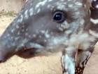 Zoológico de Campinas divulga nome de anta escolhido por votação virtual
