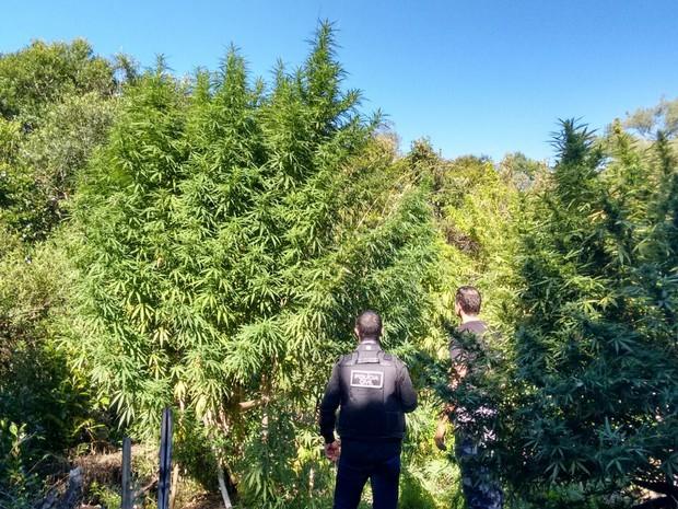 Policiais observam plantação de maconha na fazenda em Pelotas, RS (Foto: Divulgação/Polícia Civil)