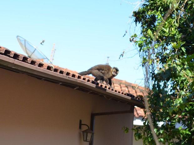 Macacos costumam buscar comida nas casas à beira da serra (Foto: Ana Gabriela Nunes/ VC no G1)