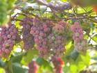 Produtores de Porto Feliz comemoram safra da uva