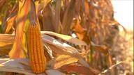 Produtividade da primeira safra de milho é considerada boa em MG e RS