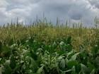Planta daninha de algodão comum nos EUA é encontrada em MT