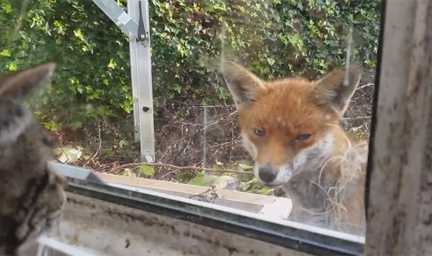 Britânico registrou encontro entre seus gatos e raposa (Foto: Reprodução/YouTube/ Dan Bull )
