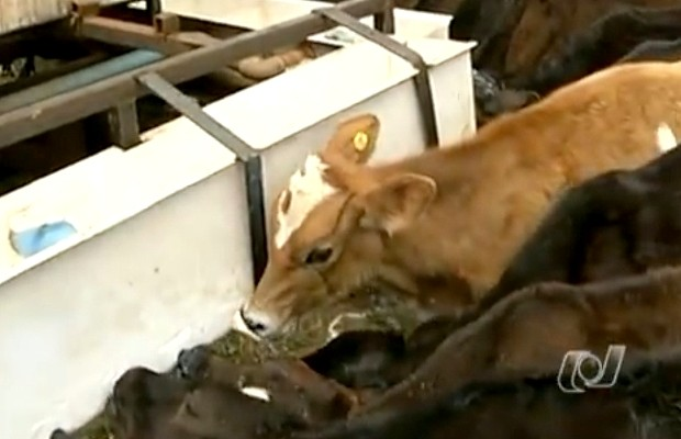 Bezerros mamam em mãe adotiva carregada de leite, na zona rural de Silvânia (Foto: Reprodução TV Anhanguera)