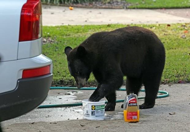 Ursinho intrometido atrapalha lavagem de carro na Flórida (Foto: Rod Huber/Orlando Sentinel/AP)