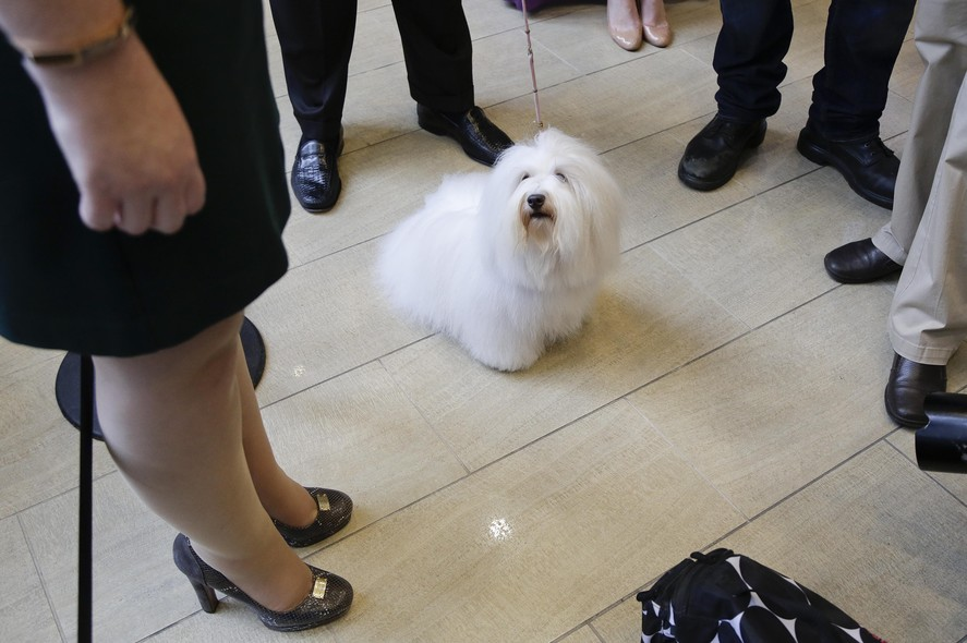 Luna, uma cachorrinha da raça Coton de Tulear, participa de uma competição de cachorros em Nova York