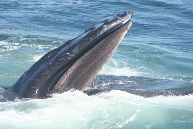 Segundo o estudo, as jubartes transmitem conhecimento por meio da convivência em grupo (Foto: Jennifer Allen/Centro de Baleias de New England/Science)