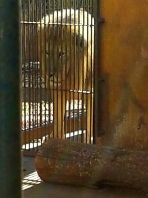 Leão sequestrado no interior de São Paulo foi encontrado em Maringá (Foto: Erick Gimenes/G1)