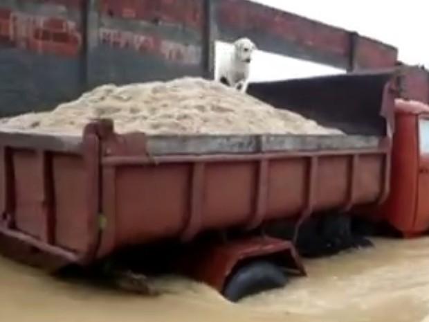 Cachorro pega carona no caminhão que atravessa enchente em Araruama (Foto: Reprodução/TVGlobo)