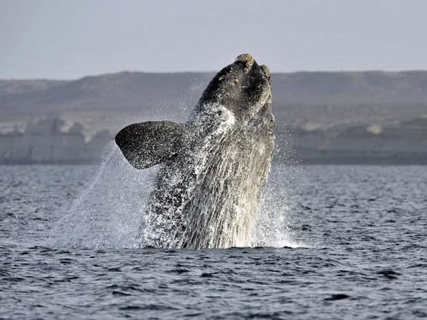 Espécie costuma ir à região argentina entre junho e dezembro para reprodução. (Foto: Maxi Jones/Reuters)