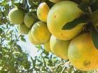Queda de 7% na safra de laranja deve equilibrar mercado, dizem citricultores